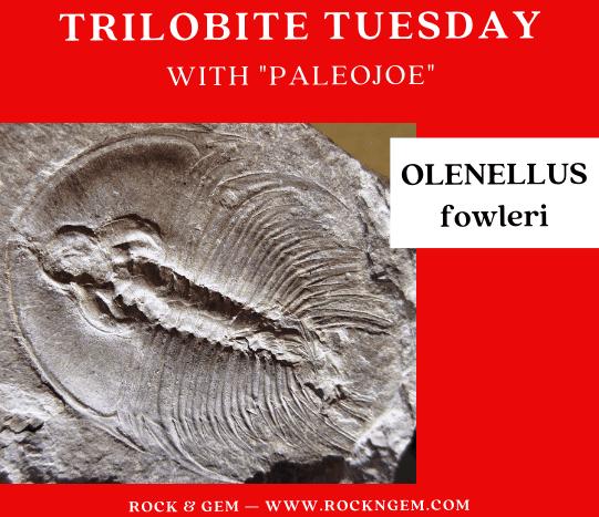 Trilobite of the Week: OLENELLUS fowleri